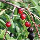 GEOPONICS Prunu erotina fruta de semilla 25+ semillas nativas cereza