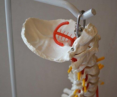 Zoom IMG-2 s24 3124 colonna vertebrale con