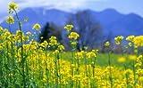 900Bio Heirloom Samen Vergewaltigung Ölsaat brassicacapestris Zwerg Essex Rapsöl Gemüse Garten B0012