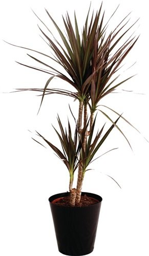 NORDWEST Handel AG Zimmerpflanze Drachenbaum Dracaena