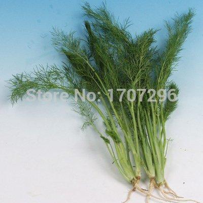 Four Seasons graines de fenouil Semences Potagères de soie parfumée délicieux assaisonnement - 100 pcs / lot