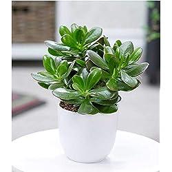 BALDUR-Garten Geldbaum Crassula, 1 Pflanze Zimmerpflanze pflegeleicht