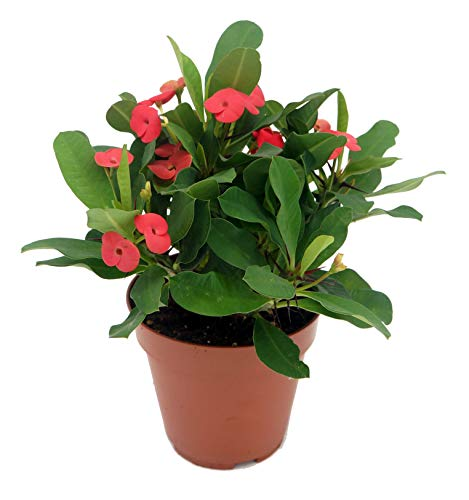 Christusdorn (Euphorbia millii), leuchtend rot blühend, Sorte: Vulcanus, im 12cm Topf