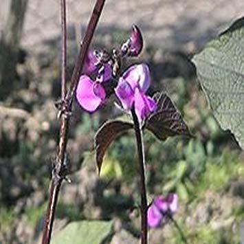 plat firm-semi lablab purpureus, in rapida crescita di fagioli da india, verdura esotica, 10 semi
