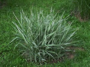 shelled-warriors-ornamental-reed-canary-grass-500-seeds-grow-and-feed-your-tortoise