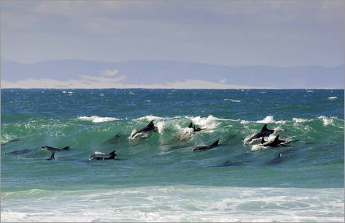 Stampa su legno 110 x 70 cm: Surfing Dolphins di Paul Kennedy - Surfing Dolphins