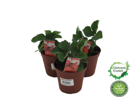 10 Erdbeerpflanzen Senga Sengana, Erdbeere, Erdbeerpflanze im 9cm Topf