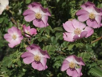 Weinrose / Schottische Zaunrose - Rosa rubiginosa 60-100 cm, ab 3 Triebe von Gartengruen24 - Du und dein Garten