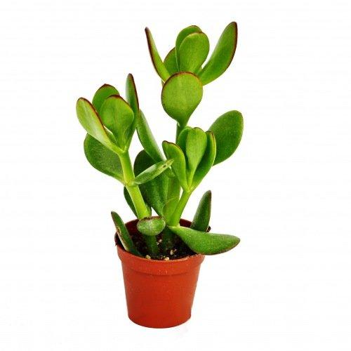 Crassula portulacea - Geldbaum - im 5,5cm Topf