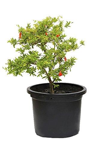 outlet-garden-granado-enano-punica-granatum-arbol-frutal-natural-altura-50-centimetros-aproximado-co