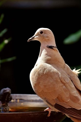 Collared  Dove at a Watering Pond Journal: Take Notes, Write Down Memories in this 150 Page Lined Journal -