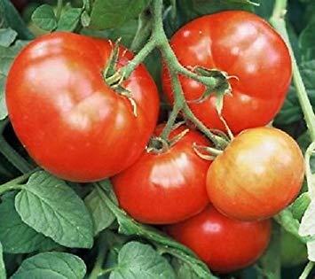 PLAT FIRM 50 Samen iletz Tomate Frühest Tomate 52 Day Garten Samen Determinate