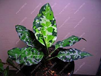 PLAT FIRM: 50 Stück/Beutel Aglaonema 'Pink Dud', Schöne Mosaic Samen überhaupt Samen Samen, Houseseed Hausgarten-Topf 5