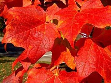 PLAT FIRM Germinazione dei semi PLATFIRM-20 Red Maple Seeds - Acer rubrum