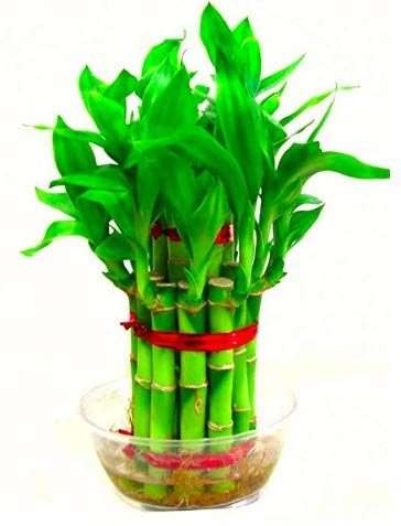The Bonsai Plants - 2 Layer Lucky Bamboo Plant With Pot for Home - Real Live Bamboo Plant Indoors Outdoors with Free Glass Pot for Gift/Gifting Purpose/Options - Low Maintenance - Perfect Gift - For Home or Office