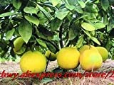 Bonsai Fruit bonsais 10pcs/Bag Hardy Mini Pummello elo ello Tree kao Pan Fruit! Rare
