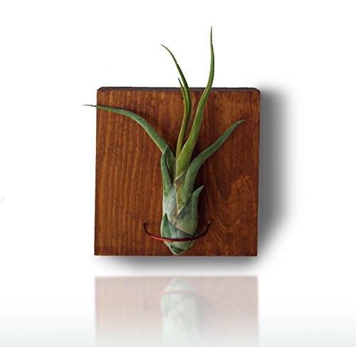 tillandsien-hangen-deko-auf-holz-luftpflanzen-deko-tillandsia-caput-medusae