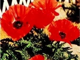just-seed-flower-oriental-poppy-allegro-350-seeds