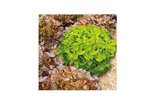 1x Salat Red Salad Bowl Samenband EKO - Samen Pflanze Gemüse Garten K84 Red Salad Bowl