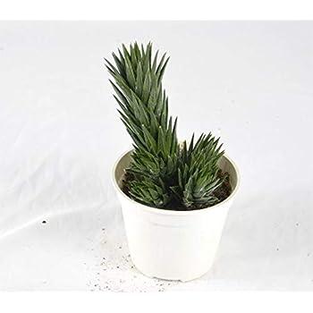 Pianta Grassa Hatiora,Vaso 10cm