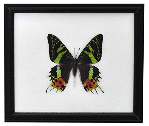 Wilai Schmetterling im Bilderrahmen *** Madagascan Sunset Month***