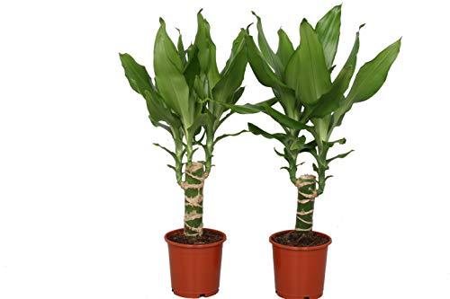Arbres d'intérieur de Botanicly - 2 × Dragonnier - Hauteur: 40 cm - Dracaena Steudneri