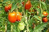Shop Meeko Pomodoro'Surya' - campo, producendo varietà nana Allungata Fruit -