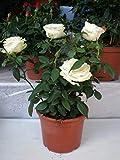 Portal Cool Samen Rose Bonsai Töpfe Home Blumen 100 Stück