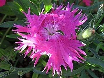 Homely 30+ Graines de fleurs d'oeillets de rose de Dianthus Superbus/Vivaces/Grand cadeau