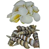 Zevora Sea Shells For Home Decor, Aquarium, Pack Of 2 (600 Gms) (Shells Combo Of 2 Cream Color & Big Sankh Shells)