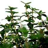 Bio Ingwerthymian Kräuterpflanze