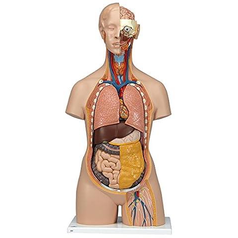 3B Scientific Human Anatomy - Classic Unisex Torso Model with