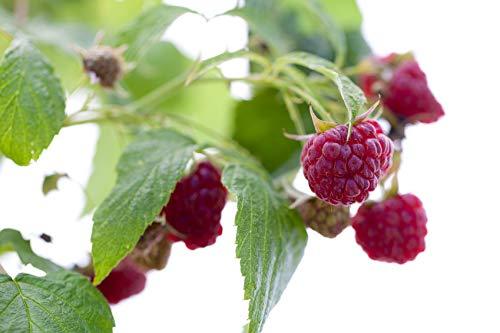 Riesen Himbeere - Ca. 50 Samen - Rubus idaeus - Für Mehrjährige Pflanzen - Gesunde & Vitaminreiche Früchte