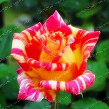 50 Pcs / Sac rares Graines Rose 24 couleurs au choix Belles graines de fleurs vivaces Balcon Jardin en pot Plante bricolage jardin 12