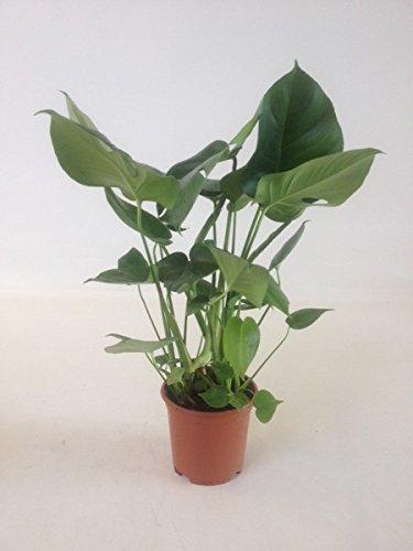 Monstera delicosa,Köstliche Fensterblatt,50cm +/- , Zimmerpflanze (Monstera Pflanze)