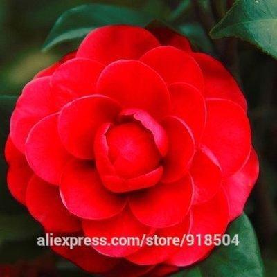 ponak nuovi semi 50 pezzi del fiore della camelia per il giardinaggio bella red