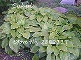 Vista 20 stücke Hosta Seeds Duftende Wegerich Schöne Mehrjährige Blume Feuer Und Eis Schatten Weißer Spitze Bonsai Hausgarten Bodendecker 6