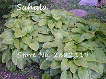 20pcs Hosta Seeds Fragrant seedain Beautiful Flower And Shade Lace Bonsai Home Garden Ground Cover By farmerly -