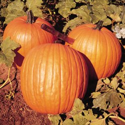 """Premier Seeds Direct PMK04 KürbisSamen """"Howden"""" perfekt für Halloween (Packung mit 25)"""