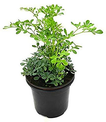FERRY Bio-Saatgut nur Pflanzen Nicht: Rue Ruta graveolens Garten Im Freien Yard Innen Zuhause