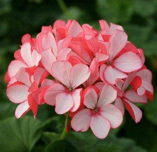 Nouveau jardin des plantes Rhodochiton atrosanguineus PURPLE BELL VINE CLIMBER TRAILER Graines de fleurs - 10 pcs / lot