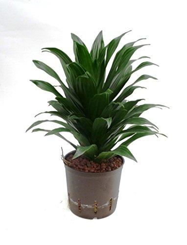 Drachenbaum, Dracaena deremensis Janet Craig Compacta, Zimmerpflanze in Hydrokultur, 13/12er Kulturtopf, 25 - 30 cm