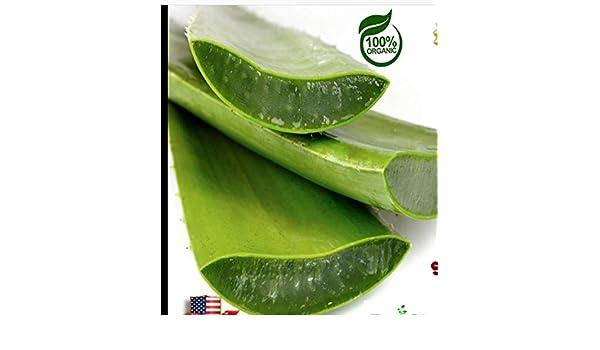 2kg Aloe Vera Frische Bio-Blatt 100/% Pure /& Natural Generic Seeds