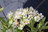 Brautspiere - Schneespiere - Kräftige, buschige Pflanze im 5lt Container