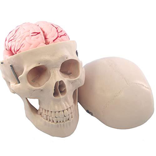 Schädel Modell Anatomie mit abnehmbarem Gehirn aus PVC Lehre medizinisches Skelett Halloween Dekoration Statue ()