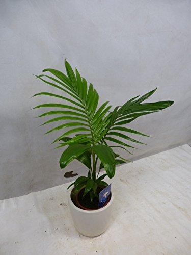 [Palmenlager] - Archontophoenix alexandrae - Feuerpalme 70 cm/Zimmerpflanze Zimmerpalme