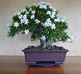 200pcs Gardenia Seeds (Cape Jasmin), Bonsai-Blumensamen, Geruch und schöne Blumen Topfpflanzen für Haus & Garten