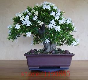 200pcs Gardenia Seeds (Cape Jasmin), Bonsai-Blumensamen, Geruch und schöne Blumen Topfpflanzen für Haus & Garten (Cape Haus)