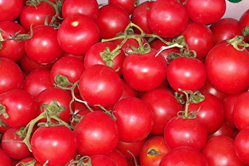 Portal Cool 35 Gärtner Delight Tomaten-Samen, eine gute Schwer Cropper