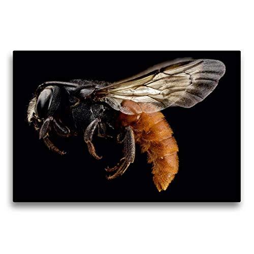 Calvendo Premium Textil-Leinwand 75 cm x 50 cm quer, Hummel   Wandbild, Bild auf Keilrahmen, Fertigbild auf echter Leinwand, Leinwanddruck: Schillerndes Insekt auf schwarzem Hintergrund Tiere Tiere -
